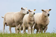 Curious sheep. In the Netherlands royalty free stock photo