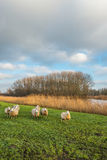 Curious sheep in an autumn landscape with a small river Stock Image