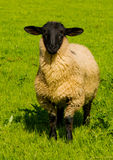 Curious Sheep with Black Head Royalty Free Stock Photography