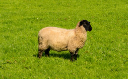 Curious Sheep with Black Head Stock Photography