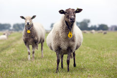 Curious sheep in a dutch meadow Stock Photos
