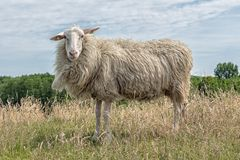 Sheep with earmarks in Dutch field with long grass Royalty Free Stock Photos