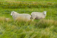 Curious sheep in a farm. Flock of sheep in a farmland in Queenstown, New Zealand Stock Photo