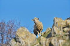 Curious sheep looking at camera from behind mountain rocks.  stock photo