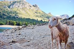 Curious sheep looking at the camera at Gorg Blau, Mallorca, Spain. Curious sheep looking at the camera at Gorg Blau, on rocks outdoors in a mountain valley Stock Photo