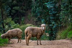 Curious sheep looking in the middle of the road stock photography