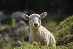Curious sheep Royalty Free Stock Image