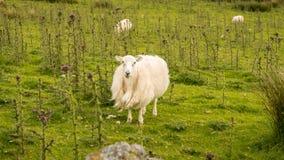 A curious sheep on a meadow. Seen near Llyn Cwmystradllyn, Gwynedd, Wales, UK Royalty Free Stock Photo