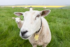 Curious sheep from the Netherlands Stock Images