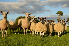 Curious sheep Stock Images