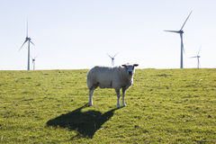 Curious sheep and wind turbines near the dutch Waddenzee Stock Photography