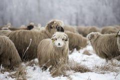 Curious sheep winter. December,wood winter,  sheeps rural farm Stock Photo