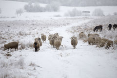 Curious sheep winter. December,wood winter,  sheeps rural farm Stock Image