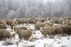 Curious sheep winter. Sheep grazing in winter and curious Royalty Free Stock Images