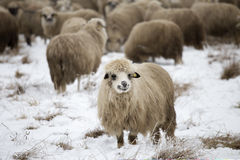 Curious sheep winter. Sheep grazing in winter and curious Royalty Free Stock Image
