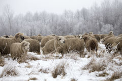 Curious sheep winter. Wood winter, rural farm sheeps Stock Photo