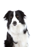 Curious sheepdog Stock Photo