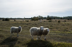 Curious sheeps Royalty Free Stock Photos