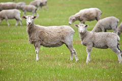 Curious sheeps Stock Photography