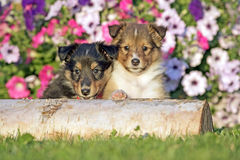 Curious Sheltie puppies Stock Images