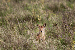 Curious but shy Jackal Royalty Free Stock Photos