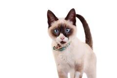 Curious Siamese Kitten Stock Photo