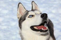 Curious Siberian Husky Royalty Free Stock Images