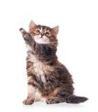 Curious siberian kitten Royalty Free Stock Photo