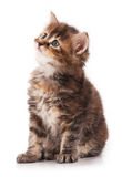 Curious siberian kitten Stock Photos