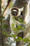 Curious Sifaka Lemur Royalty Free Stock Photography