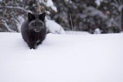 Curious silver fox Stock Photo