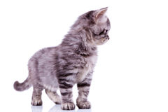 Curious silver tabby cat Royalty Free Stock Images