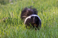 Curious skunk Stock Image