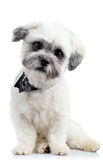 Curious Small Bichon Havanese Puppy Royalty Free Stock Photography