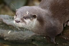 Curious Small-clawed Otter Portrait. Portrait of a small-clawed or Asian otter, a cute predator from the Far East Royalty Free Stock Photo