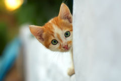 Curious small kitten peeking out from white wall. Curious small red kitten peeking out from white wall. outdoors Stock Images