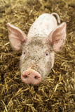 Curious small newborn pig in a stable Stock Images