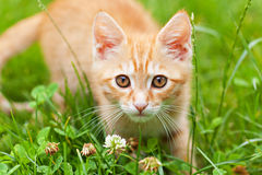 Curious small red kitten Royalty Free Stock Images