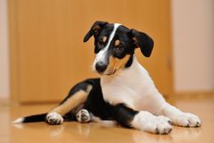 Curious Smooth Collie puppy lying on the floor Stock Image