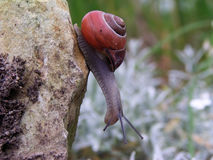 Curious snail. Before he fall down royalty free stock photo