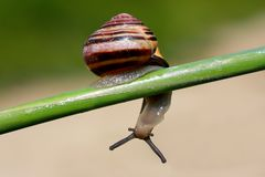 Curious snail. A curious snail, watching the camera up side down stock photo