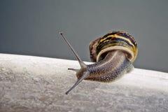 Curious Snail Royalty Free Stock Photos