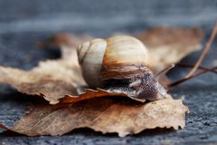 Snail in the garden. Curious snail in the garden on brown leaf Stock Photos