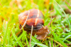 Curious snail in the garden on green grass Stock Photography