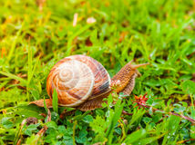 Curious snail in the garden on green grass Stock Photo