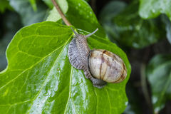 Curious snail in the garden. On green leaf Royalty Free Stock Image