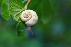 Curious snail in the garden on green leaf. Green background Stock Photos