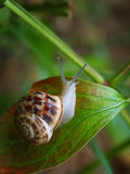 Curious snail in the garden on green leaf. Green background Royalty Free Stock Images