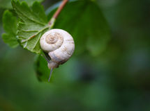 Curious snail in the garden on green leaf. Green background Royalty Free Stock Photography