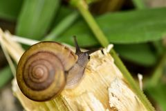 Gastropod. Curious snail in the garden on green leaf beside canal Stock Photography